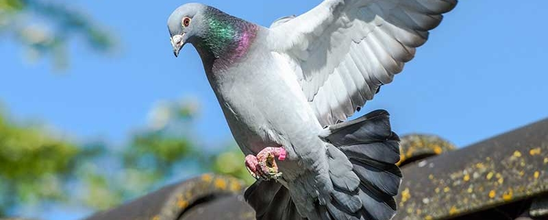 Come allontanare i piccioni dal tetto